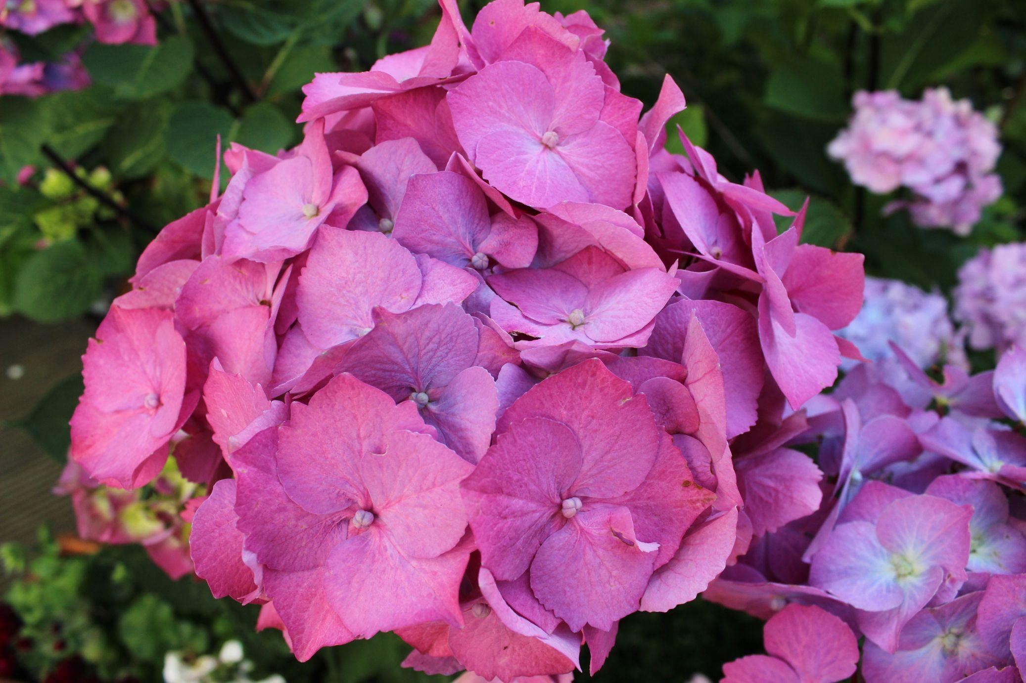 Hortensien, Garten, Der Rabe im Schlamm